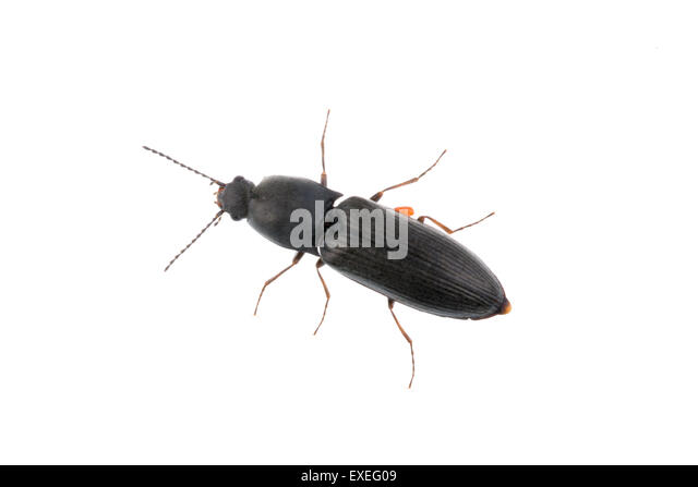 Black bug isolated on a white background   Stock Image. Beetle Bug Insect Silhouette Cut Out Stock Images   Pictures   Alamy
