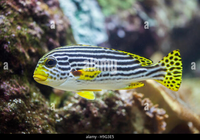 New caledonia barrier reef stock photos new caledonia for Sweet lips fish