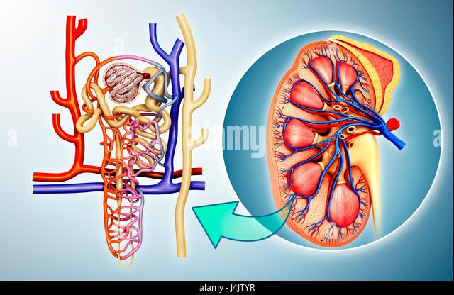 Nephron Structure In A Kidney Stock Photos & Nephron Structure In A ...