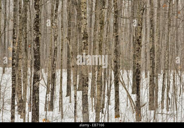 Beech Maple Forest ~ Hulbert stock photos images alamy