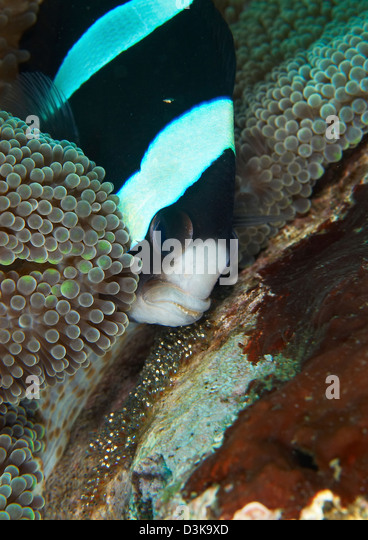 Octopus eggs stock photos octopus eggs stock images alamy for Black fish eggs