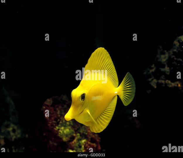 Yellow tang zebrasoma flavescens stock photos yellow for Yellow tang fish