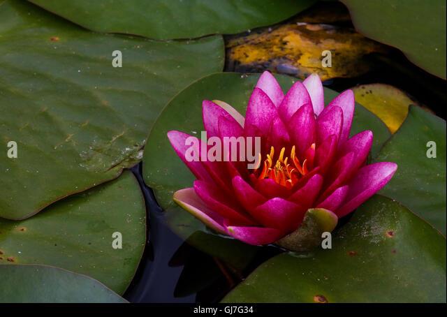 Red Lotus Lake Stock Photos & Red Lotus Lake Stock Images ...