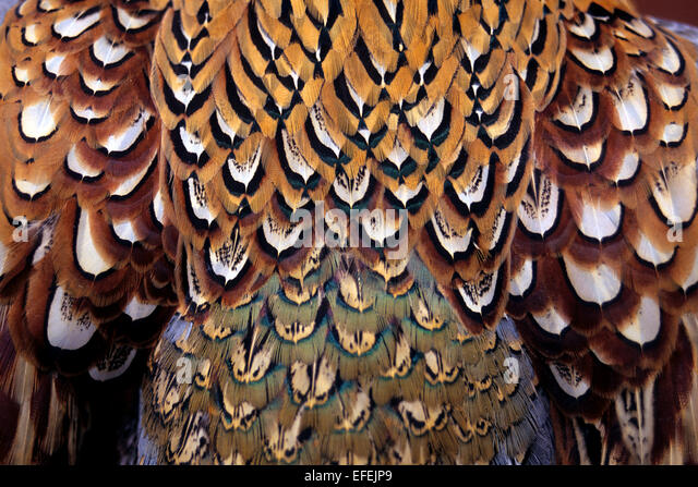 asian pheasant feathers