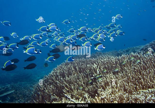 Underwater Landscape School Blue Surgeonfishes Stock Photos ...