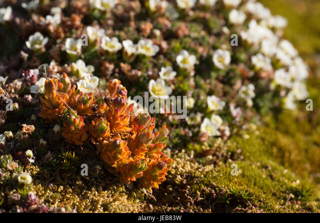 Delicate orange and white alpine flowers only a inch or so high cover the ground on an island near Hamiltonbreen, - Stock Image