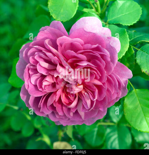 rosa princess anne stock photos rosa princess anne stock images alamy. Black Bedroom Furniture Sets. Home Design Ideas