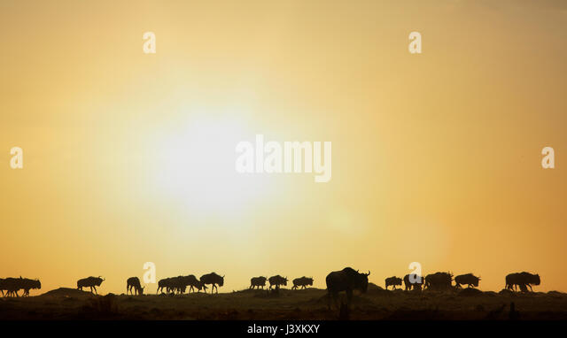 Wildebeests migration at sunset, Masai Mara National Reserve, Kenya - Stock Image