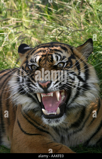 Tiger Growling Portrait Face Teeth Stock Photos & Tiger ...