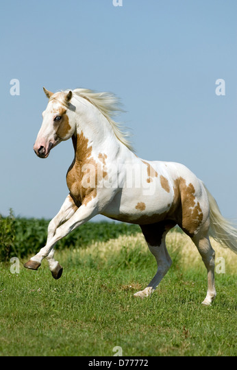 Paint Horse Running Meadow Stock Photos & Paint Horse ...