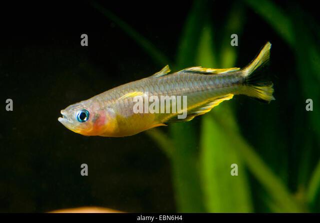 Rainbowfish Stock Photos & Rainbowfish Stock Images - Alamy