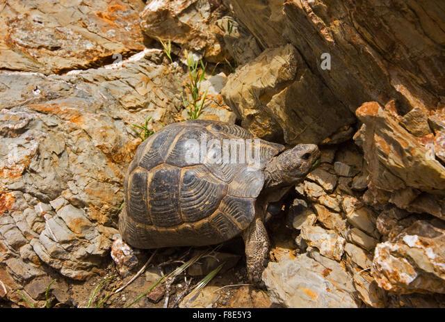 ibera greek tortoise - photo #21
