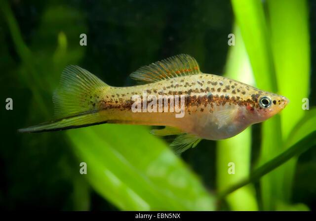 green swordtail (Xiphophorus helleri), swimming - Stock Image