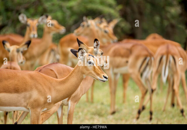 Baby Impala With Female Herd Pictures, Images and Stock Photos ...