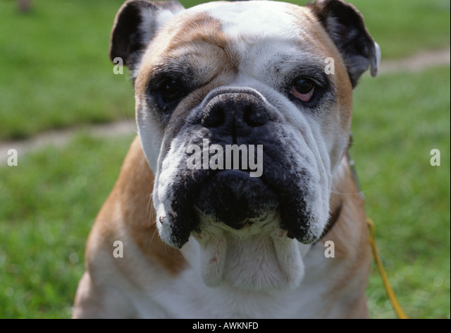 Nika's Dog Blog: 15 Bulldog Breeds You Didn't Know About