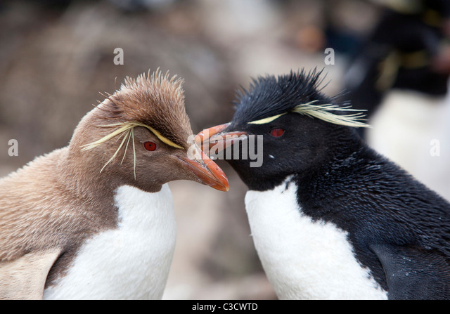 Rockhopper Penguin Antarctica Stock Photos & Rockhopper ...