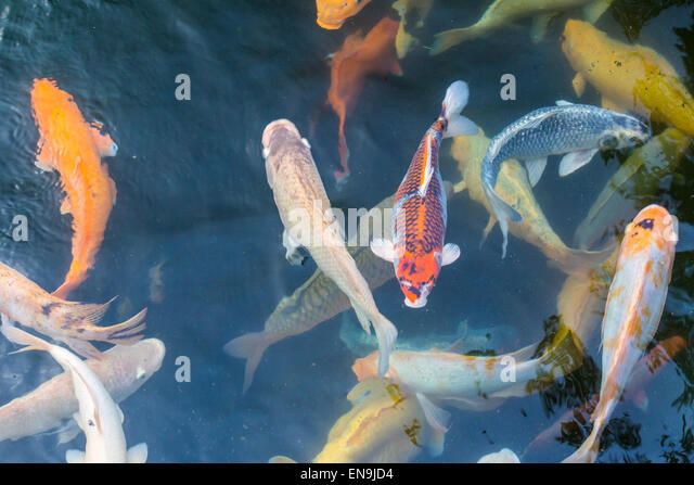 Pet fishes stock photos pet fishes stock images alamy for Koi carp pool