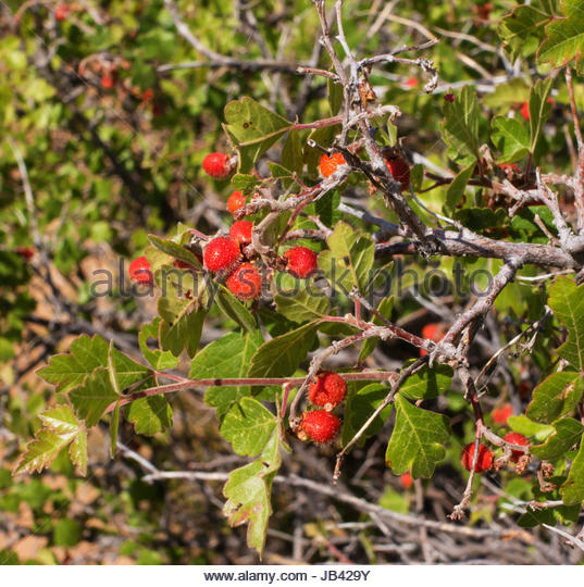 Rhus Aromatica Stock Photos & Rhus Aromatica Stock Images - Alamy