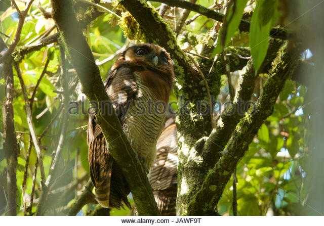 A brown wood owl, Strix leptogrammica, perches on a tree branch in Gunung Palung National Park. - Stock Image