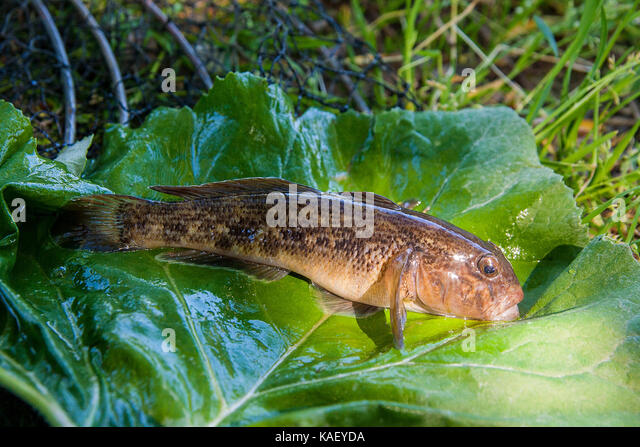 Neogobius melanostomus stock photos neogobius for Freshwater goby fish