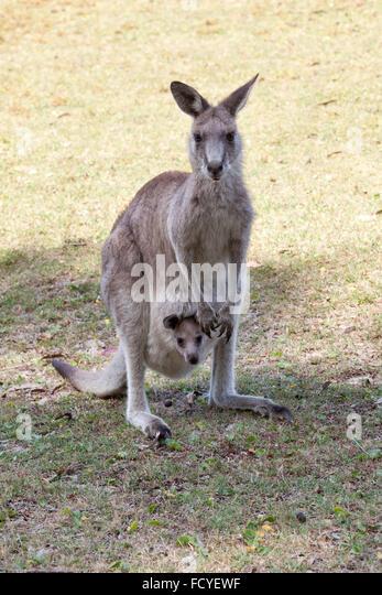 Red Kangaroo Joey Stock Photos & Red Kangaroo Joey Stock ...