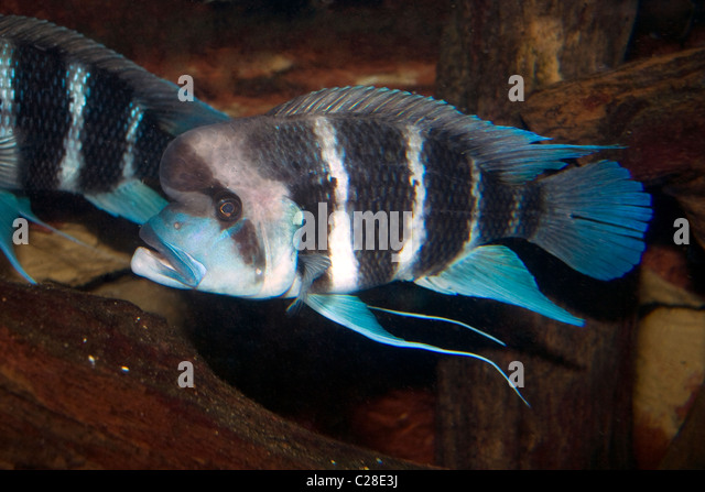 humphead cichlid frontosa cichlid stock image