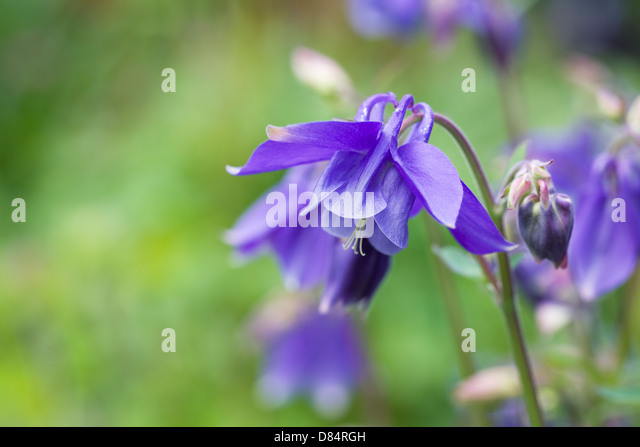 25  best ideas about Columbine flower on Pinterest | Blue flower ...