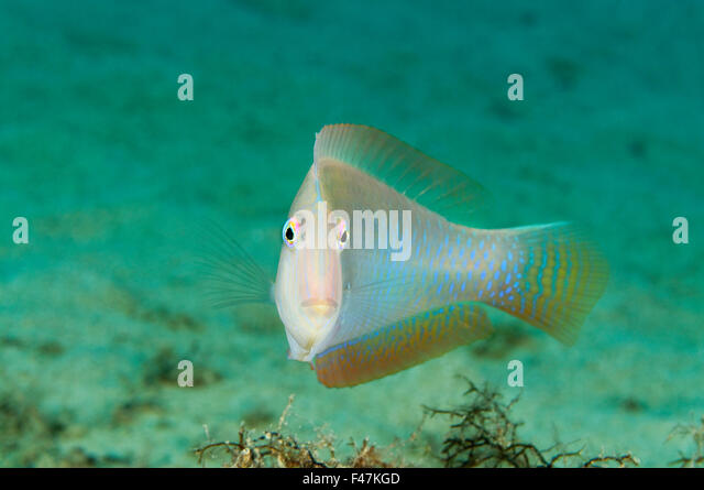 xyrichthys stock photos  u0026 xyrichthys stock images