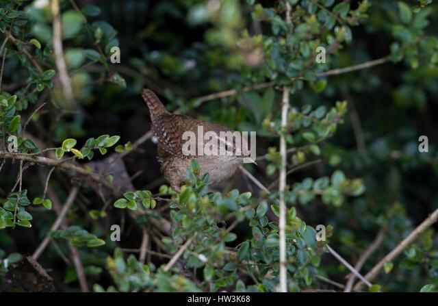 middle eastern singles in wren This report covers a 16-day trip to eastern venezuela taken by ignace ledegen, bert  two singles roseate spoonbill  bicolored wren campylorhynchus griseus.