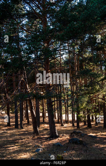 Pine forest in spain stock photos pine forest in spain - Madrid forest ...