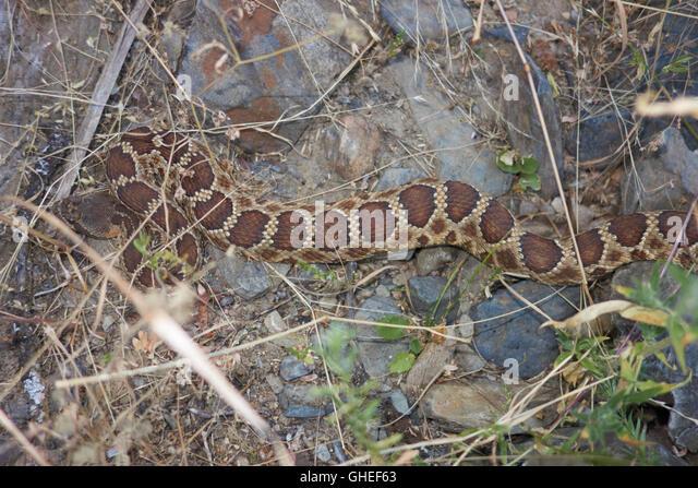 Rattlesnake Dog Training Colorado