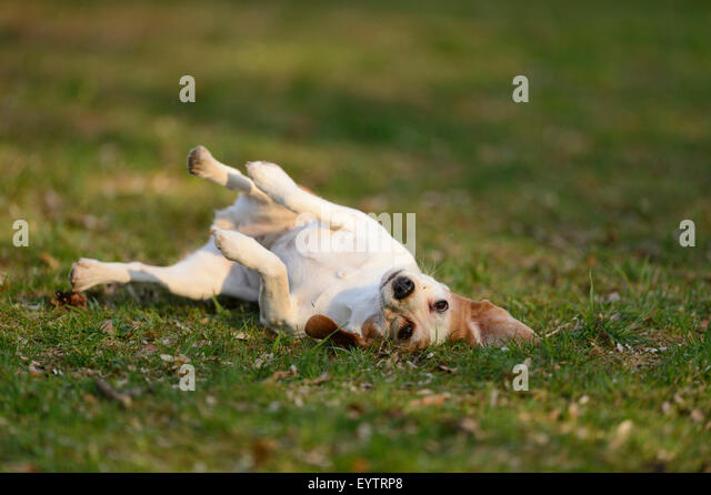 Looking Scent Hound Stock Photos & Looking Scent Hound ... Relaxing Dog Scents