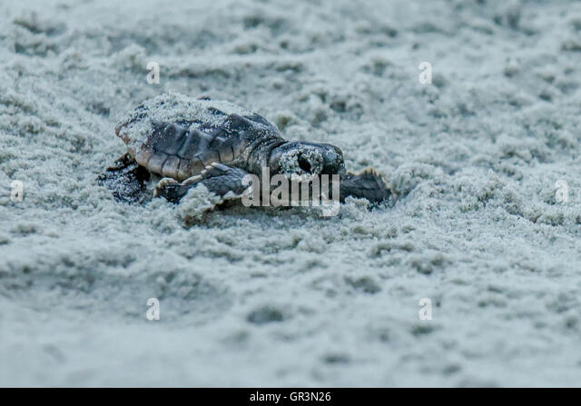 Canary Islands Turtle Hatching