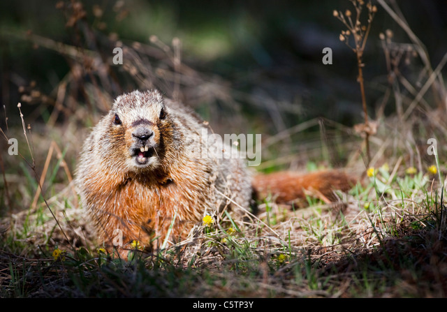 Marmota monax stock photos marmota monax stock images for Woodchuck usa