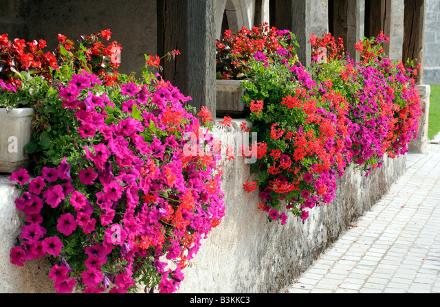 Municipal Hanging Flower Baskets : Orange petunia stock photos images