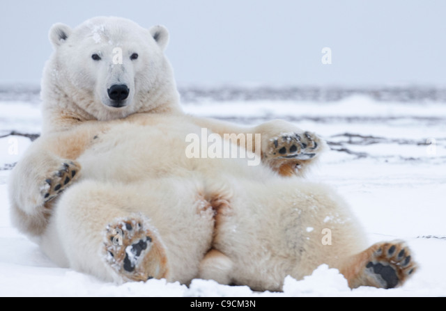 polar bear ursus maritimus female lying on back looking up in snow on