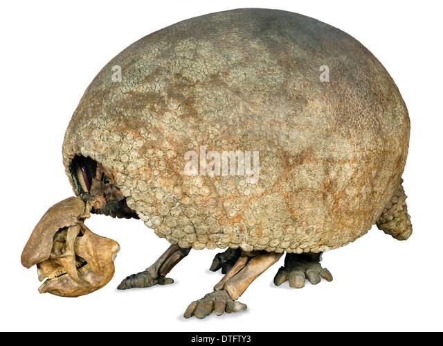 glyptodon claipes stock image