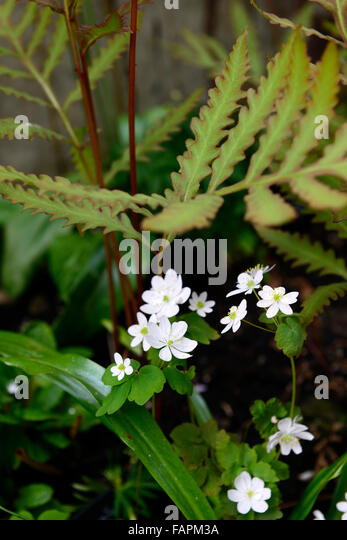 sensitive fern images free uf picture frames betty mae