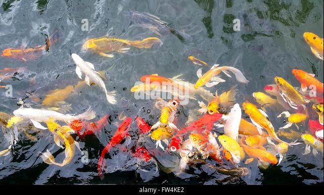 Koi fish in pond stock photos koi fish in pond stock for Colorful pond fish