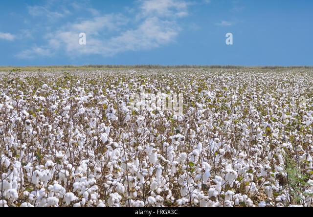Cotton Plantation Stock Photos & Cotton Plantation Stock ...