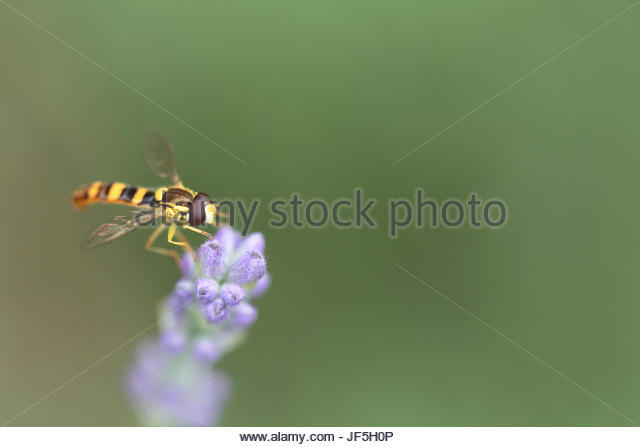 Hoverflies, sometimes called flower flies or syrphid flies, make up the insect family Syrphidae. They are often - Stock Image