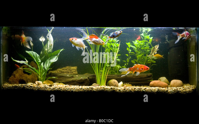 Shubunkins stock photos shubunkins stock images alamy for Cold water pet fish