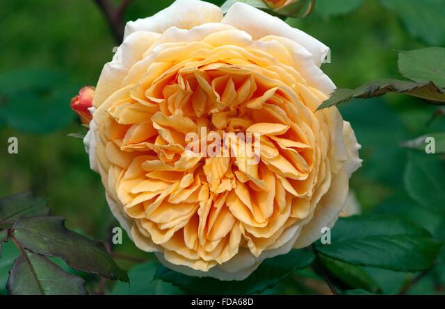 princess margaret rose stock photos princess margaret rose stock images alamy. Black Bedroom Furniture Sets. Home Design Ideas