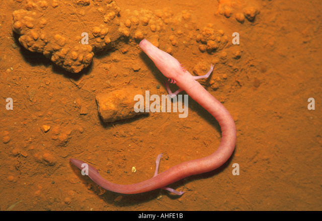 """proteus anguinus olm essay The olm, proteus anguinus in  proteus (european genus) the olm (proteus anguinus  specimen medicum"""" followed a series of papers about the olm."""