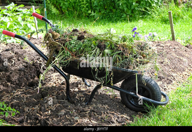 Wheelbarrow Full Of Weeds On An Allotment Garden, Norfolk, England   Stock  Image