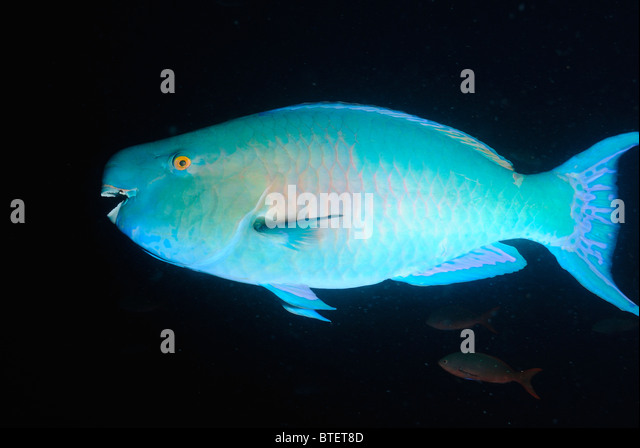 Bicolor parrotfish fish scientific name stock photos for What is the scientific name for fish