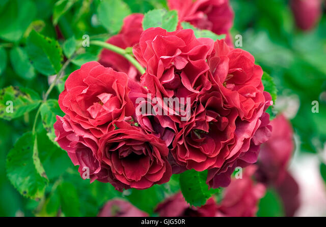 climbing red rose stock photos climbing red rose stock. Black Bedroom Furniture Sets. Home Design Ideas