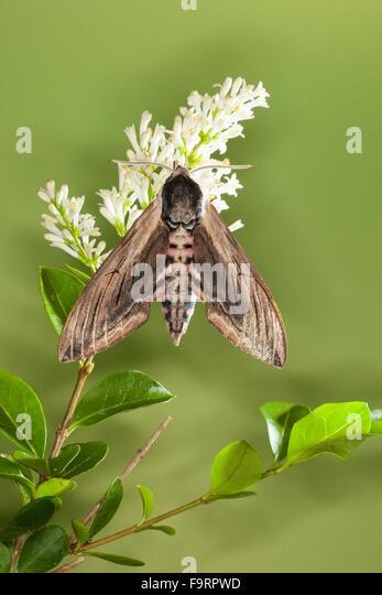 Privet hawk moth - photo#48