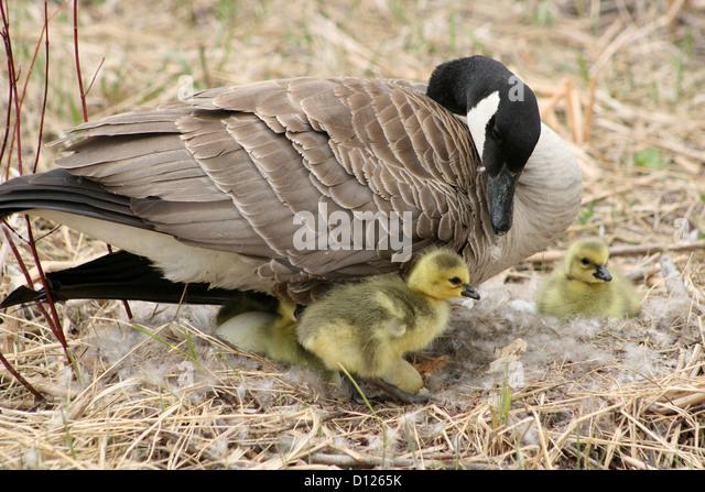 Canada Goose parka replica official - Eggs Canada Goose Bird Stock Photos & Eggs Canada Goose Bird Stock ...