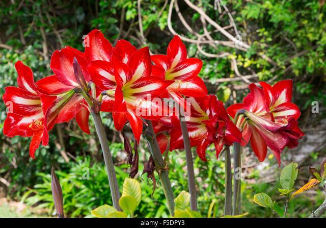 Amaryllis hippeastrum garden stock photos amaryllis for Hippeastrum royal red entretien